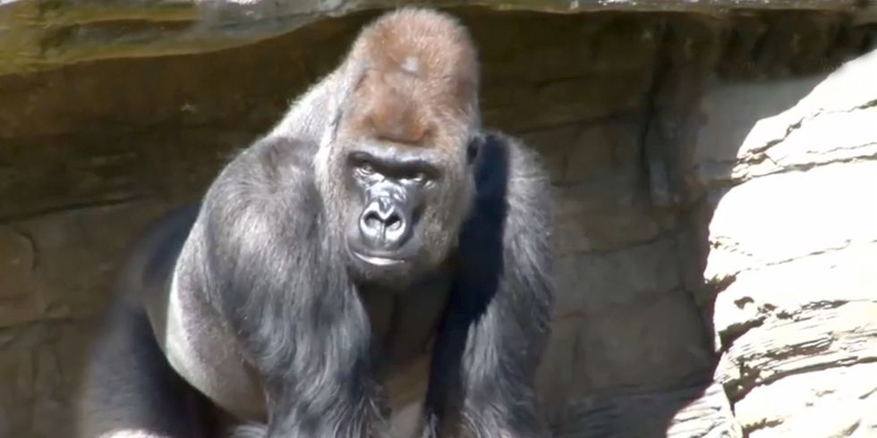 London Zoo Placed on Lockdown When Gorilla Escaped 'Through Open Cage Door'