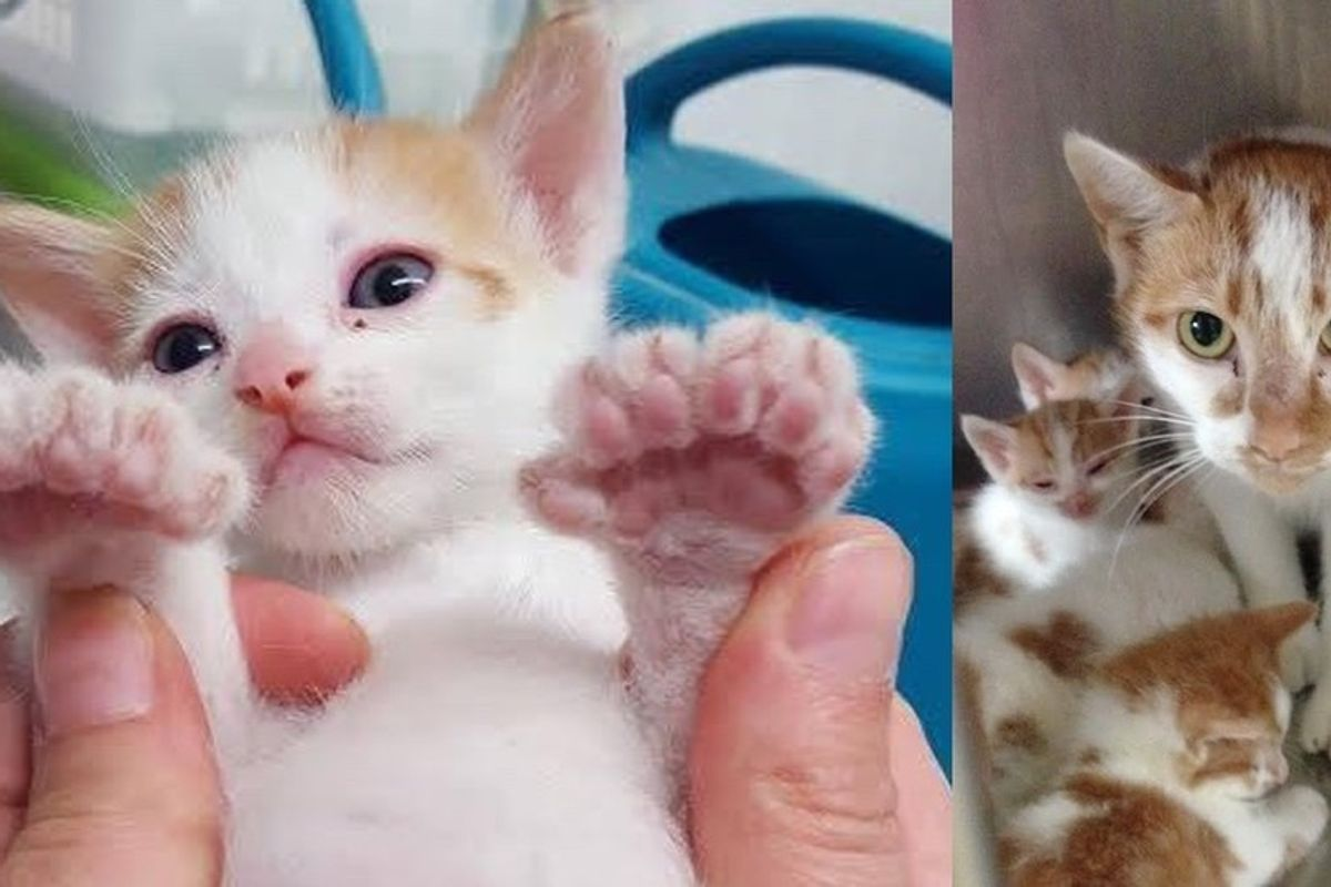 Woman Saves Kitten Trapped in Wall, Finds Four More and Mom Later, All Have Extra Toes