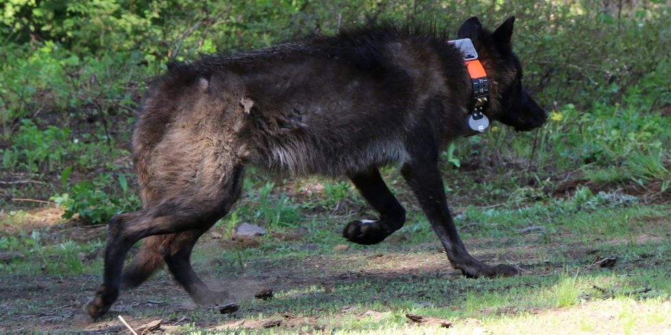 $15,000 Reward Offered Over Illegal Killing of Oregon Mother Wolf