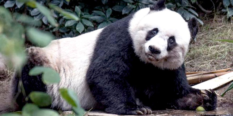 World's Oldest Panda in Captivity Dies