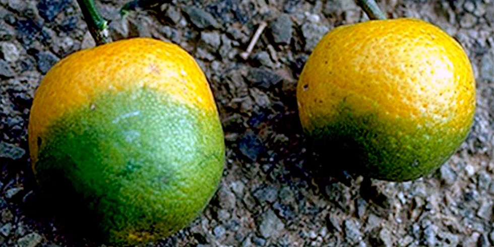 Florida Faces Worst Orange Harvest Crisis Since Records Began in 1913