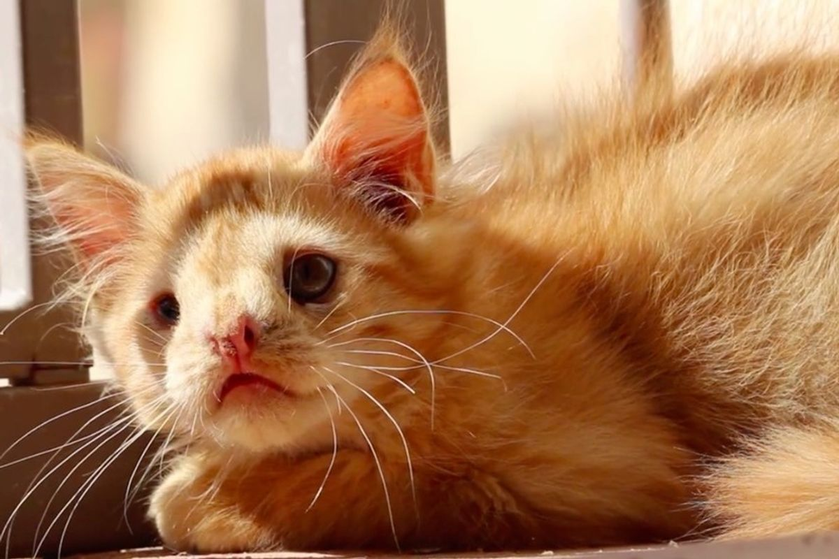 """Kitten Was Rejected by the World for Being """"Too Ugly"""" Until Someone Saw His Beauty"""