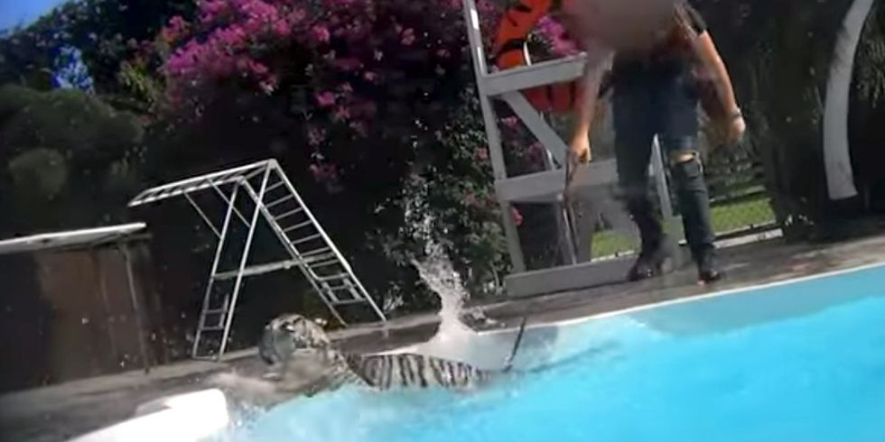 Horrific Video Shows Tigers Abused, Forced to Swim With Tourists at Florida Zoo