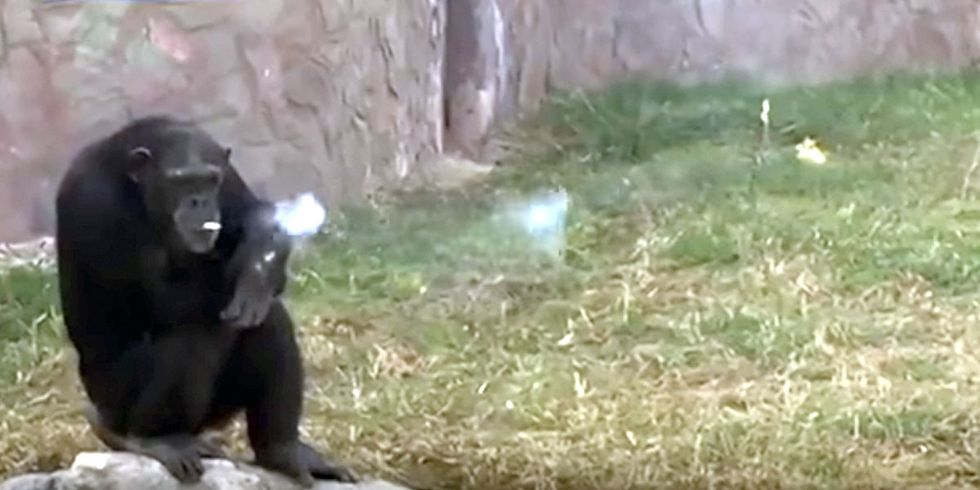 Chain-Smoking Chimpanzee Shockingly Popular at Zoo