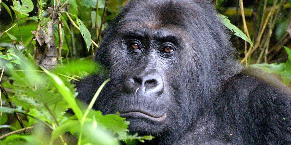 Park Ranger Murdered While Protecting Critically Endangered Gorillas