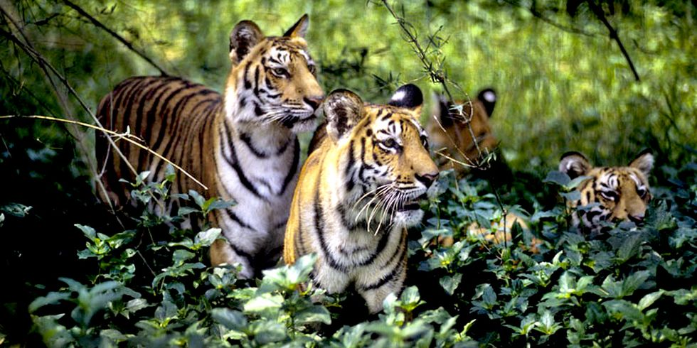 100 Years Ago 100,000 Tigers Roamed the World, Now There Are Fewer Than 4,000