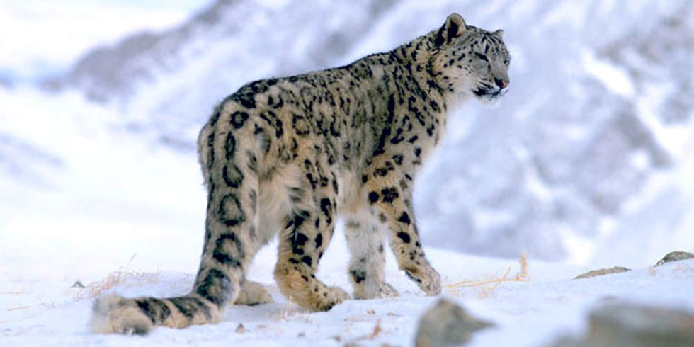 Poachers Illegally Kill Hundreds of Endangered Snow Leopards Each Year