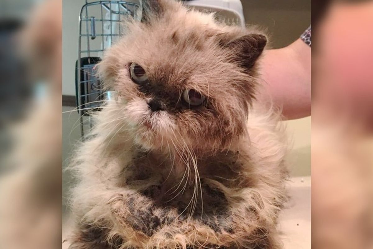 Cat Found Wearing a Coat of Tight Matts Purrs Up a Storm As Rescuers Shave Her, What a Transformation!