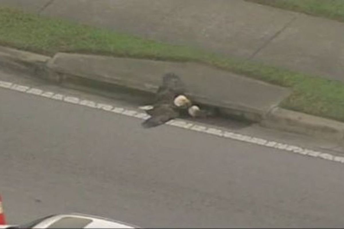 Two Bald Eagles Are Trapped In A Florida Drain