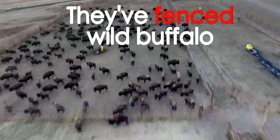 Video Shows Wild Buffalo Held Without Food or Water Near Dakota Access Pipeline Construction Site
