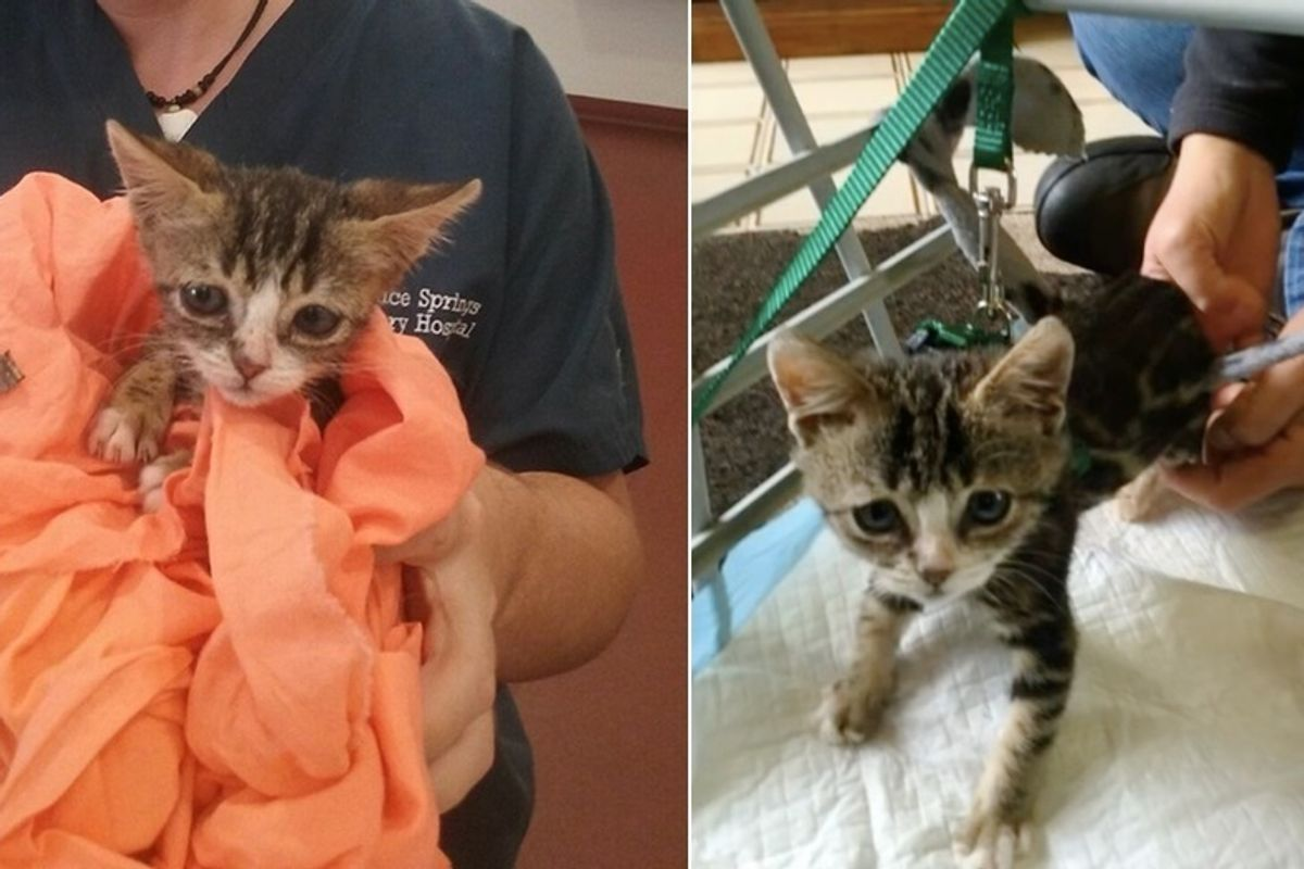Kitten Lost Use of Back Legs But Didn't Lose the Fight, What a Difference Love Can Make!