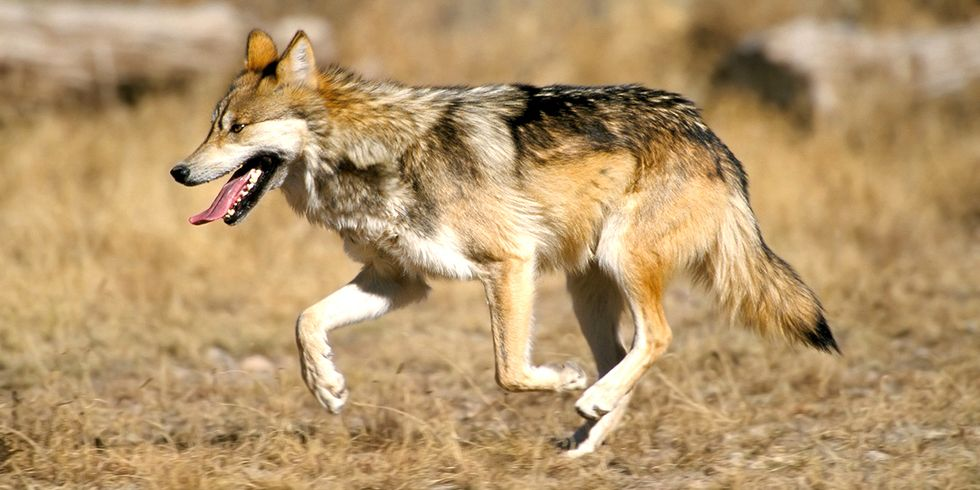 Another Mexican Gray Wolf Removed From the Wild, Only 97 Left in Arizona and New Mexico