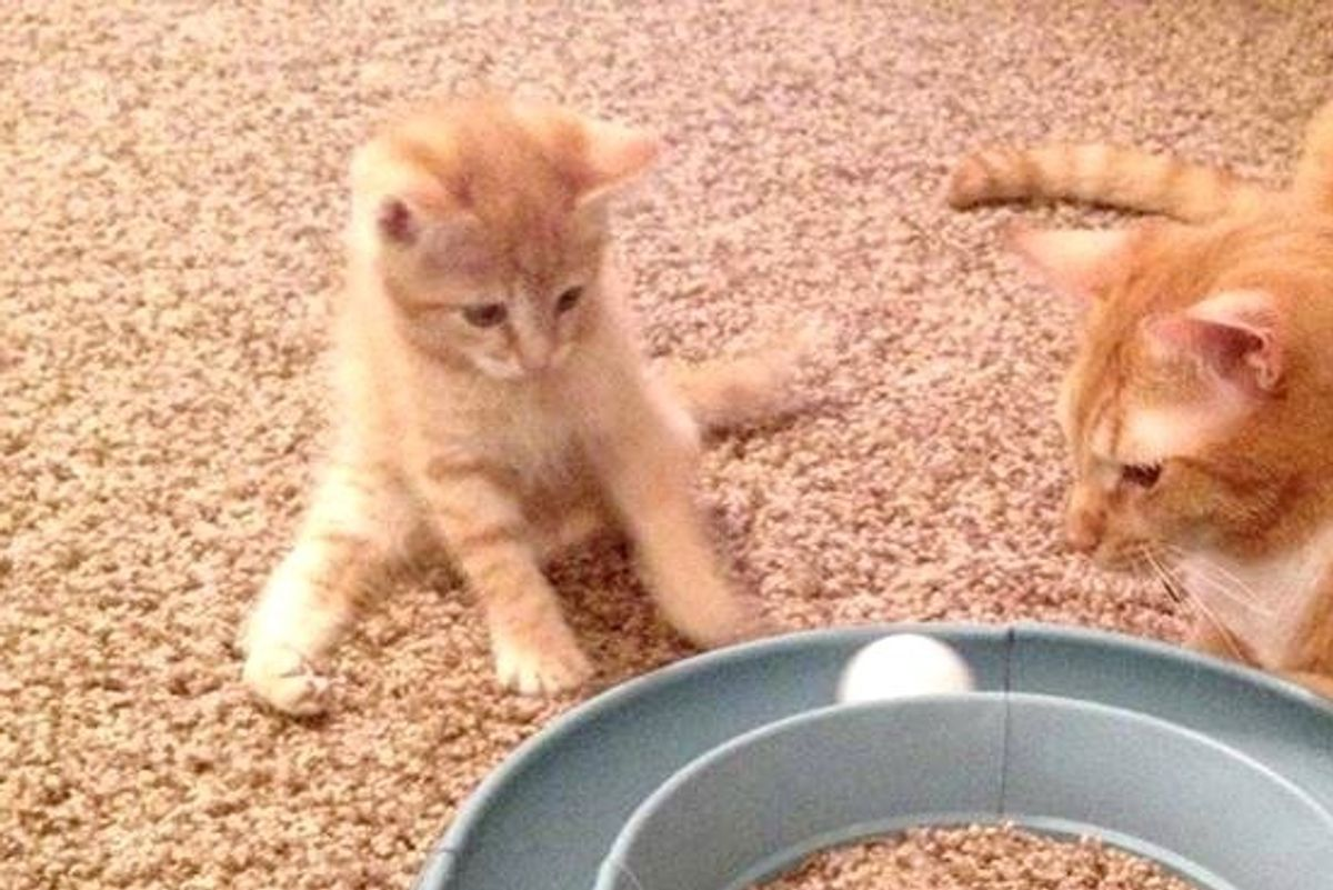 Tiny Kitten, Who Could Only Hop and Do Splits, Learns to Walk