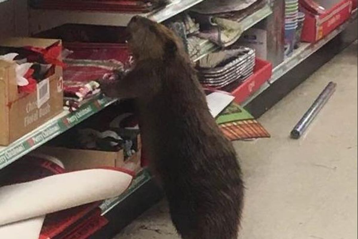 This Beaver Will Decorate His Lodge For Christmas, So Help Him