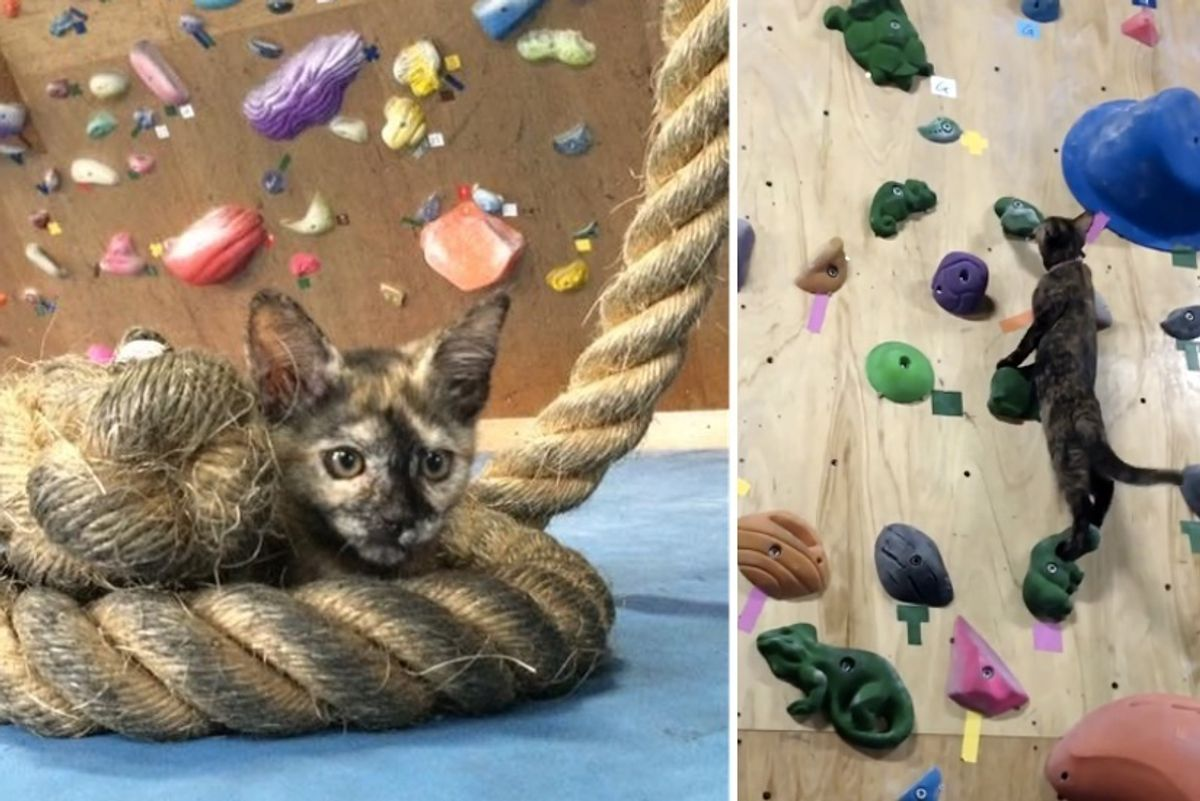 Tortie Kitten Makes Gym Her Home and Shows Humans How to Climb Like a Pro