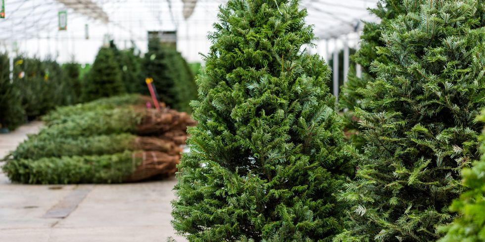 Should I Buy an Organic Christmas Tree?