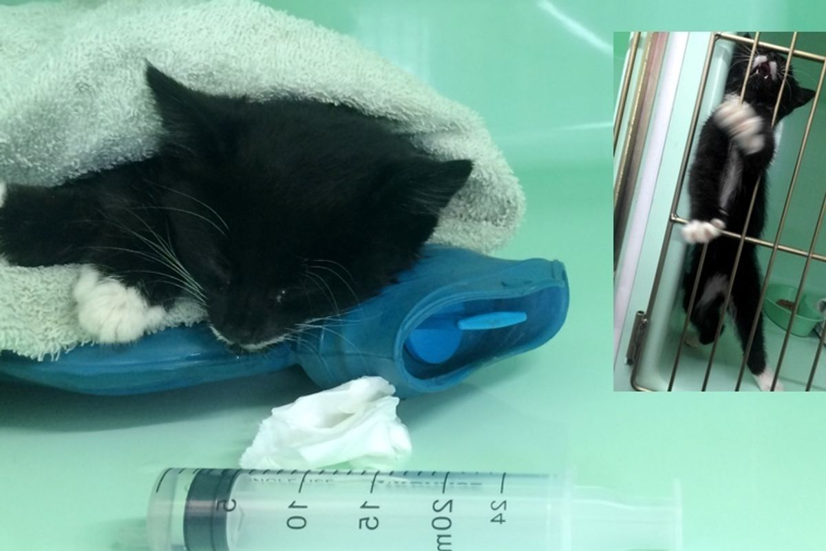 Kitten Brought in Completely Lifeless, After 3 Hours of Dripping Fluids and Care...