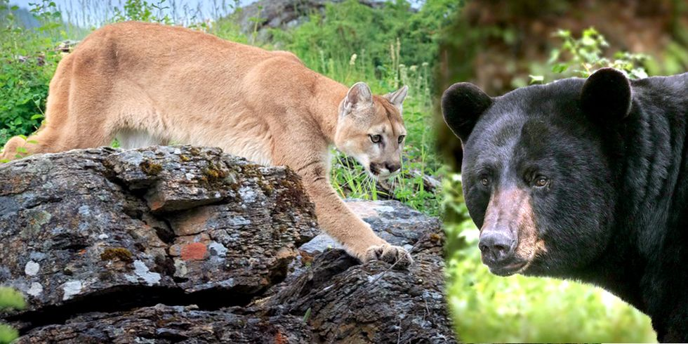 Colorado to Kill 45 Mountain Lions and 75 Black Bears so Hunters Have Mule Deer to Hunt