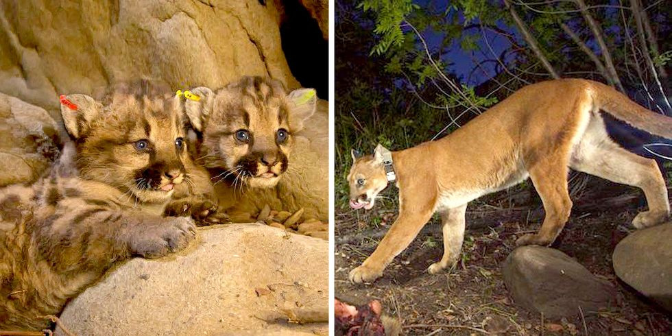 Mountain Lion Mom Killed by Car ... Can Wildlife Corridors Help Save the Species?