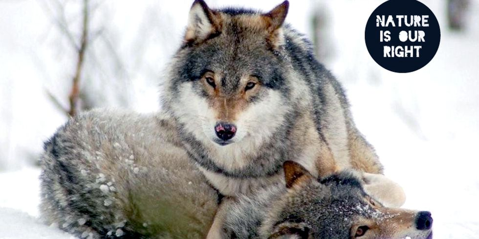 Huge Victory for Norway's Wolves