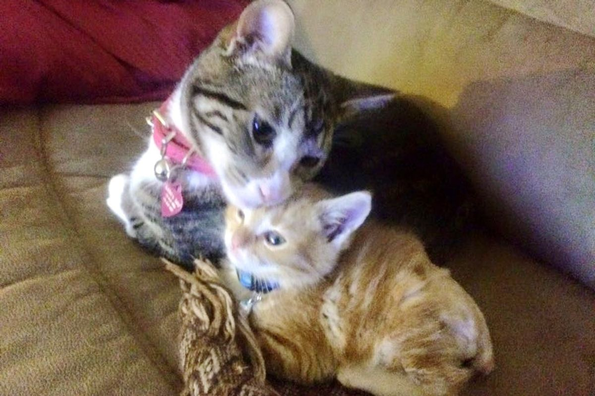 Kangaroo Kitty Meets Rescue Ginger Who Lost a Tail, and Takes to Him Like Family