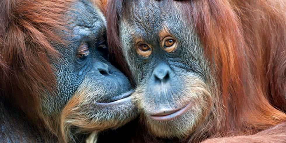 2 Orangutans Who Spent Their Lives in Cages Are Returned to Their Forest Home