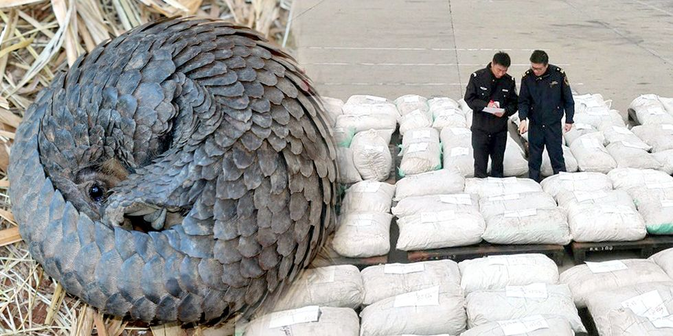 China Seizes Massive Amount of Pangolin Scales in Biggest-Ever Smuggling Case