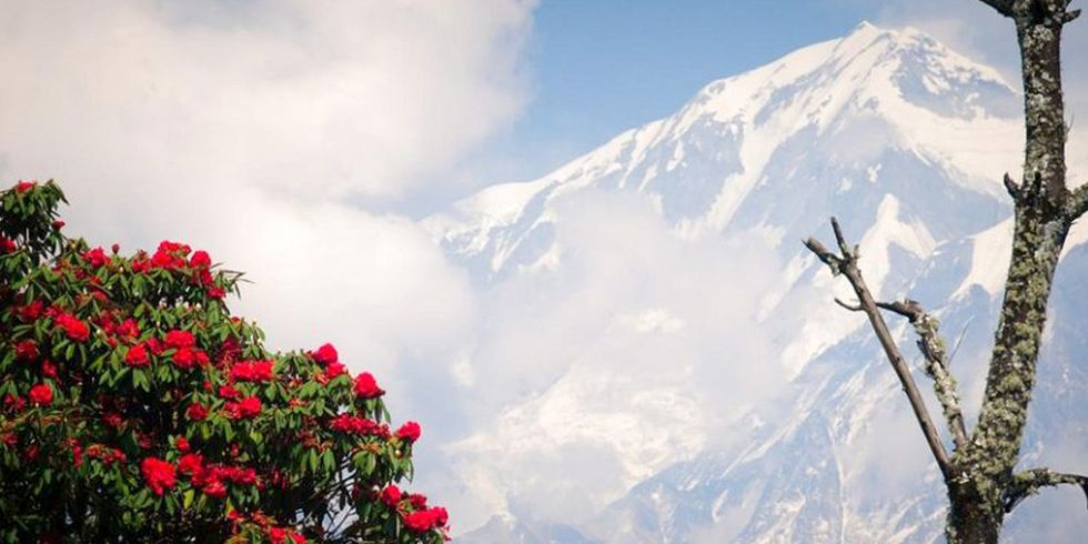 Early Bloom of Rhododendrons in Himalayas Linked to Climate Change, Scientists Say
