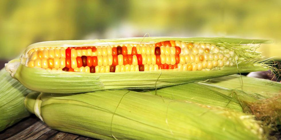Is GMO Corn Safe to Eat?
