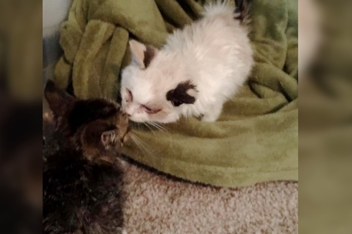 2 Rescue Kittens Bond at Shelter and Give Each Other Strength to Hang on