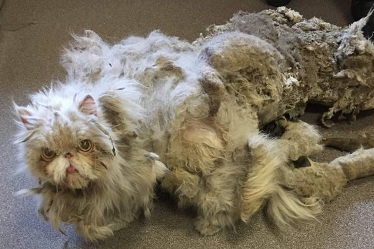 Cat Covered in Matted Fur Looks Like He's Dragging a Carpet Until He's Completely Shaved