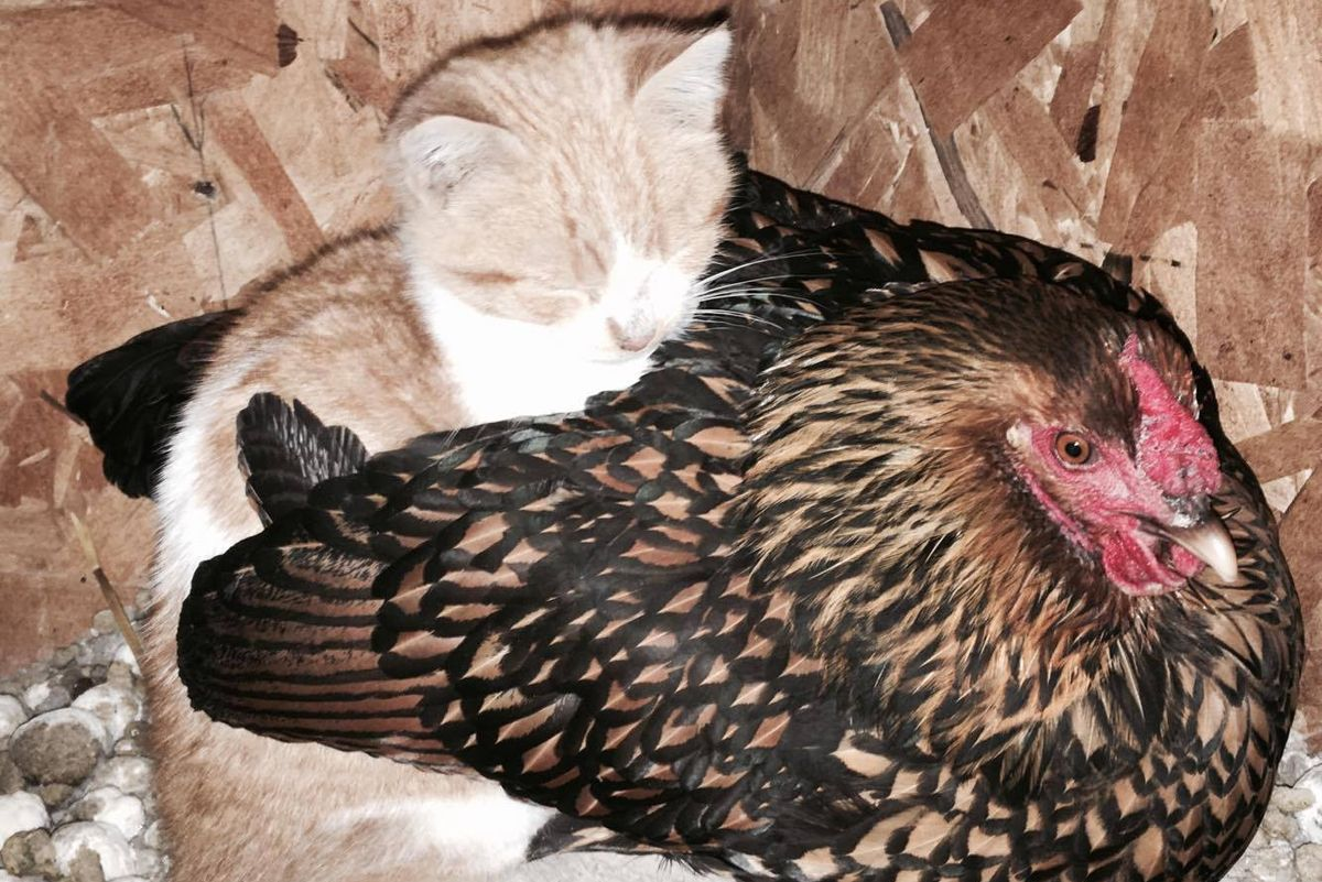 Family Finds Stray Kitten Cuddling Up to Unlikely Friend in Chicken Coop