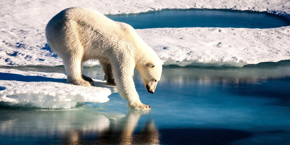 Global Action on Climate Change Needed to Save Polar Bears From Extinction