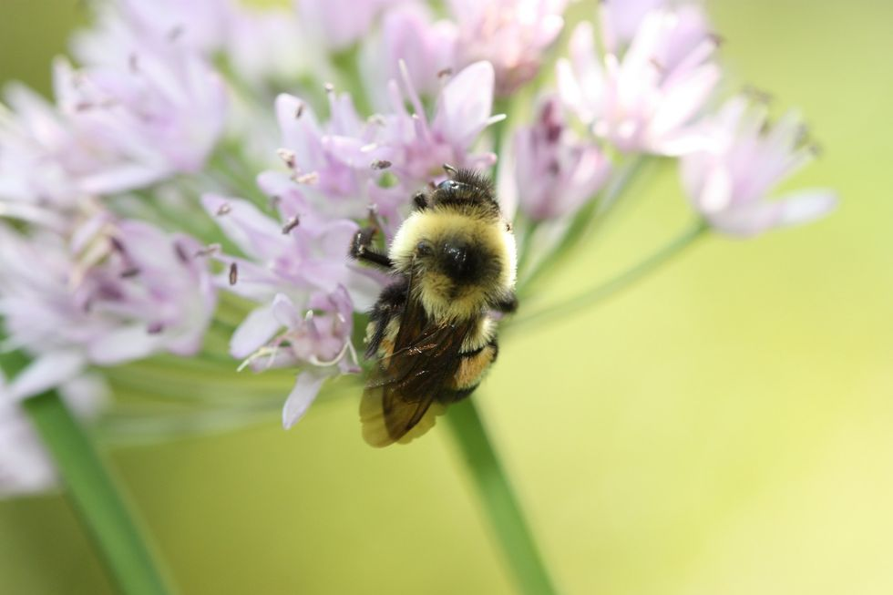 It's Official: First Bumble Bee Species Listed as Endangered in 'Race Against Extinction'