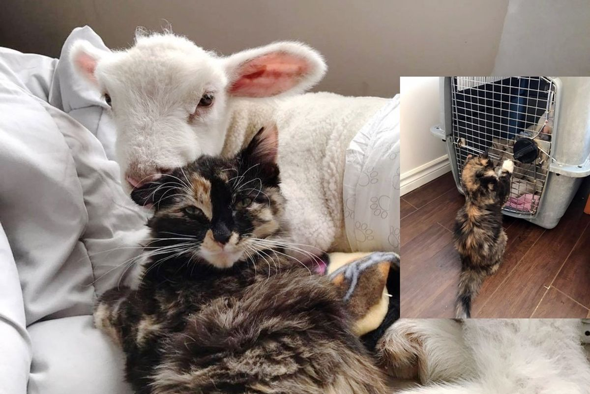 Rescue Cat Helps Save Sick Little Lamb and Nurses Him Back to Health
