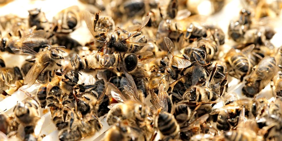 'It's Outrageous': EPA Acknowledges Proven Dangers of Bee-Killing Pesticides But Refuses to Restrict Them