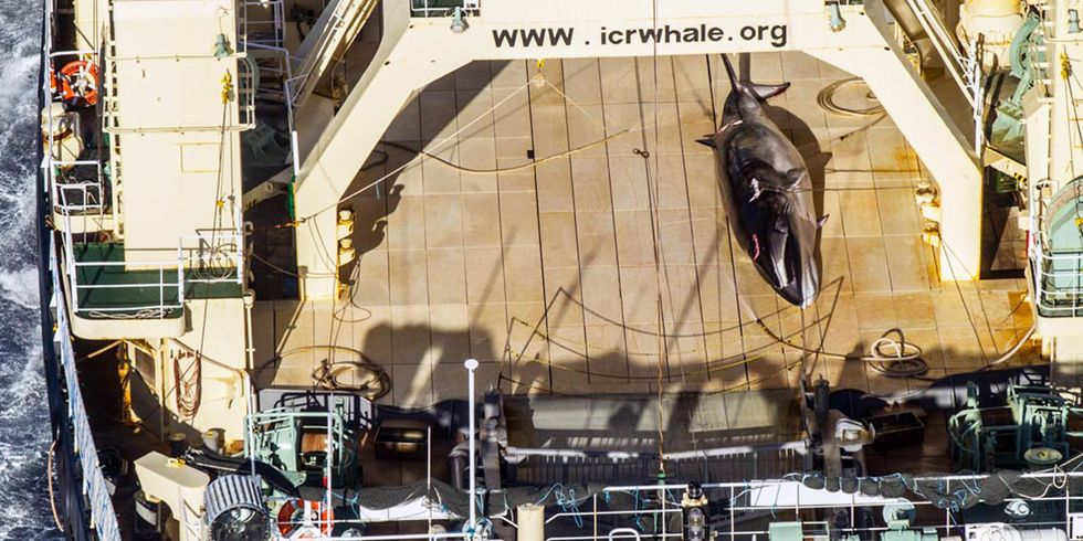 Sea Shepherd Spots Dead Whale on Japanese Ship in Australian Sanctuary