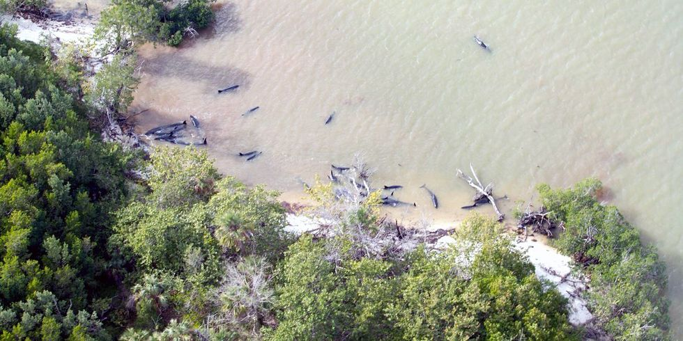 82 False Killer Whales Dead in Massive Stranding Off Everglades National Park