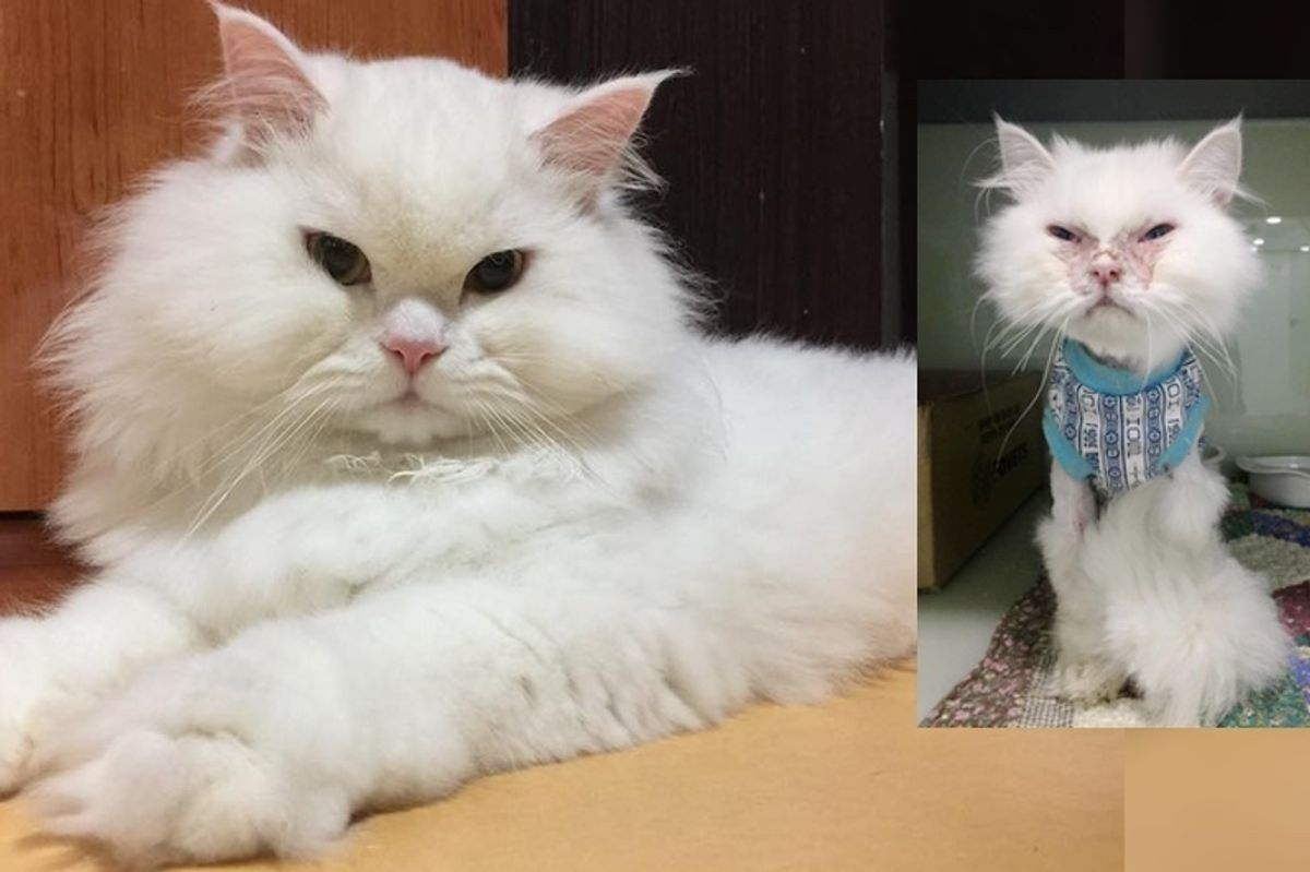 """Cat Deemed """"Not Worth It"""" Surprises Those Who Gave Up on Him With His Gorgeous New Fluff and Life"""