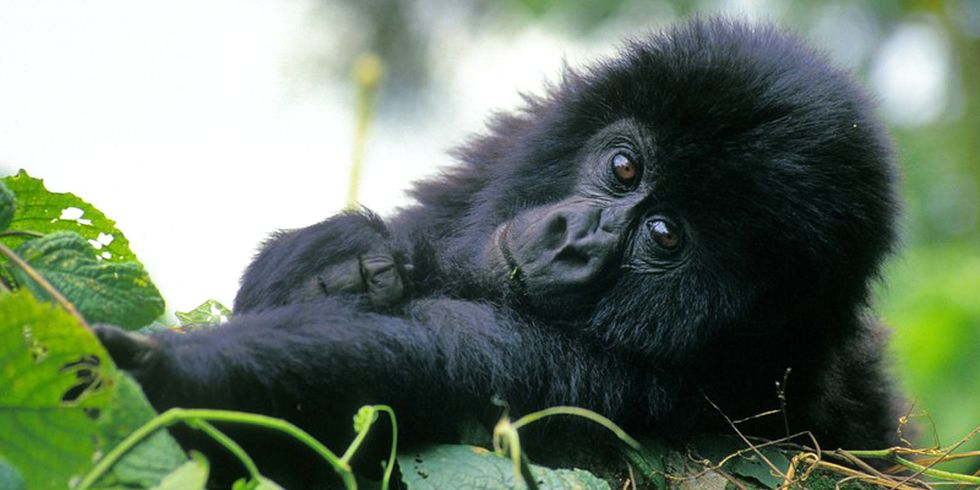 60% of the World's Primates Face Extinction