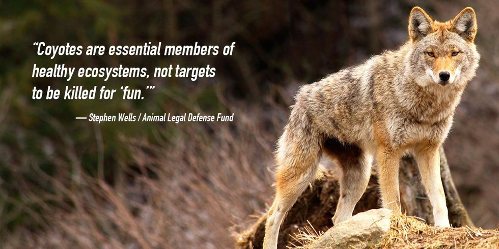 Hunters Compete to Kill as Many Coyotes as Possible From Sunup to Sundown