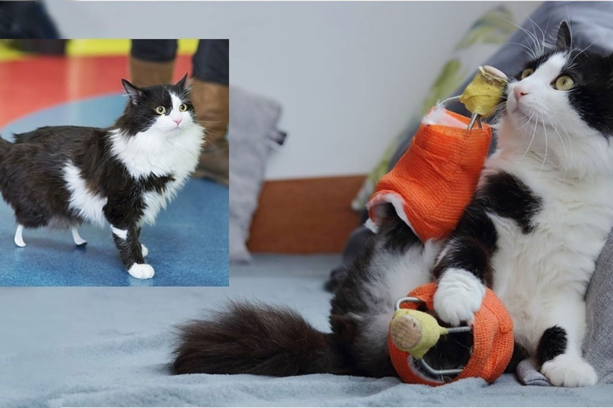 Cat Who Lost Hind Legs is Given a New Pair of Special Legs, Now A Few Months Later...