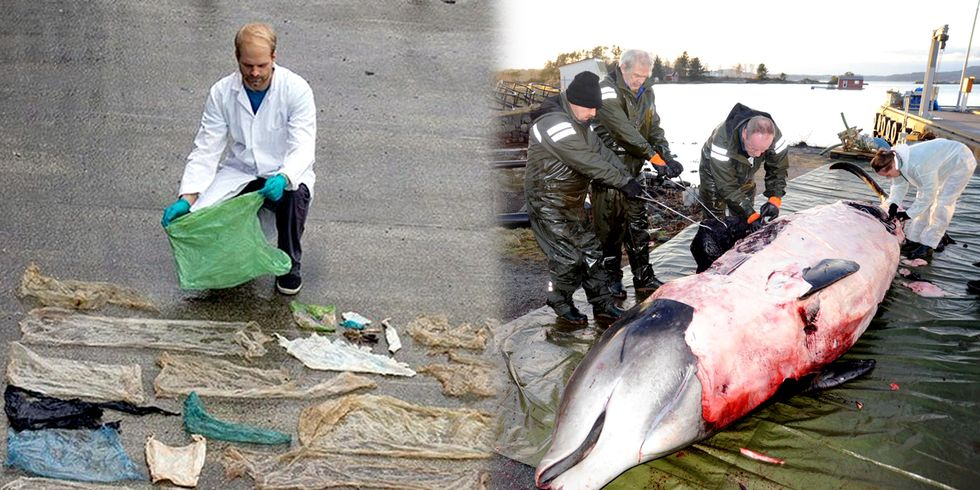 Whale Found With 30+ Plastic Bags in Its Stomach