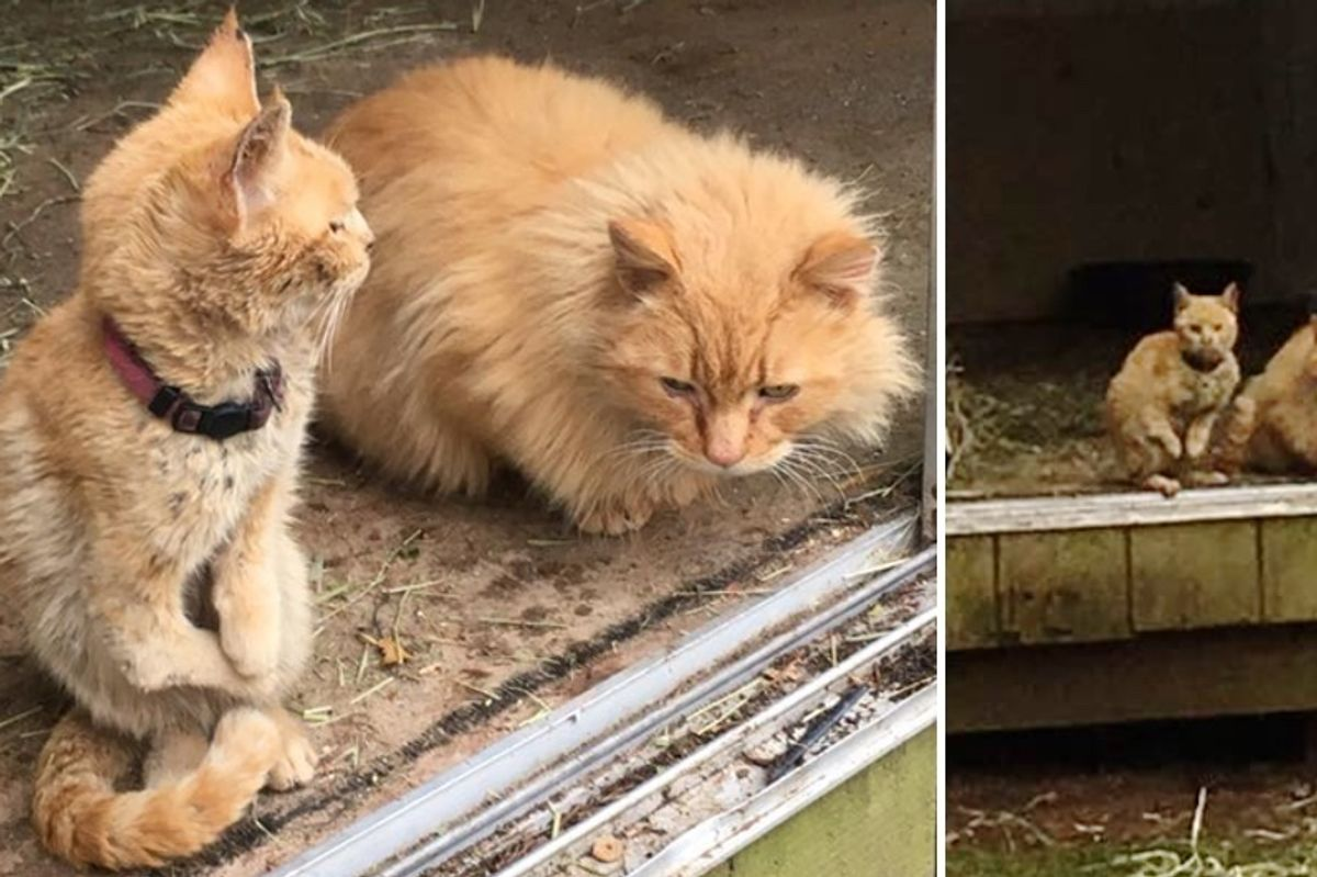 Special Cat Who Walks Like Kangaroo Bonds with Another Ginger After Both Abandoned (With Updates)