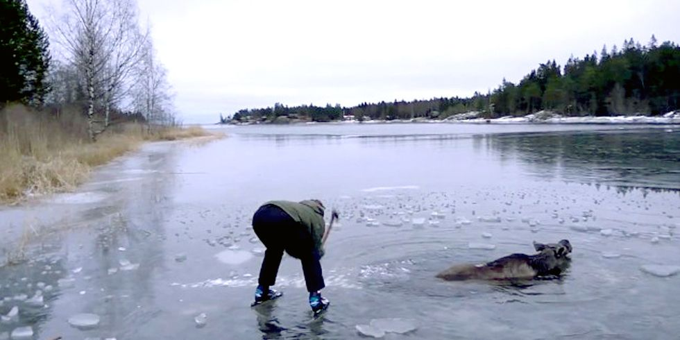 Watch Swedish Couple Rescue Moose From Frozen Lake