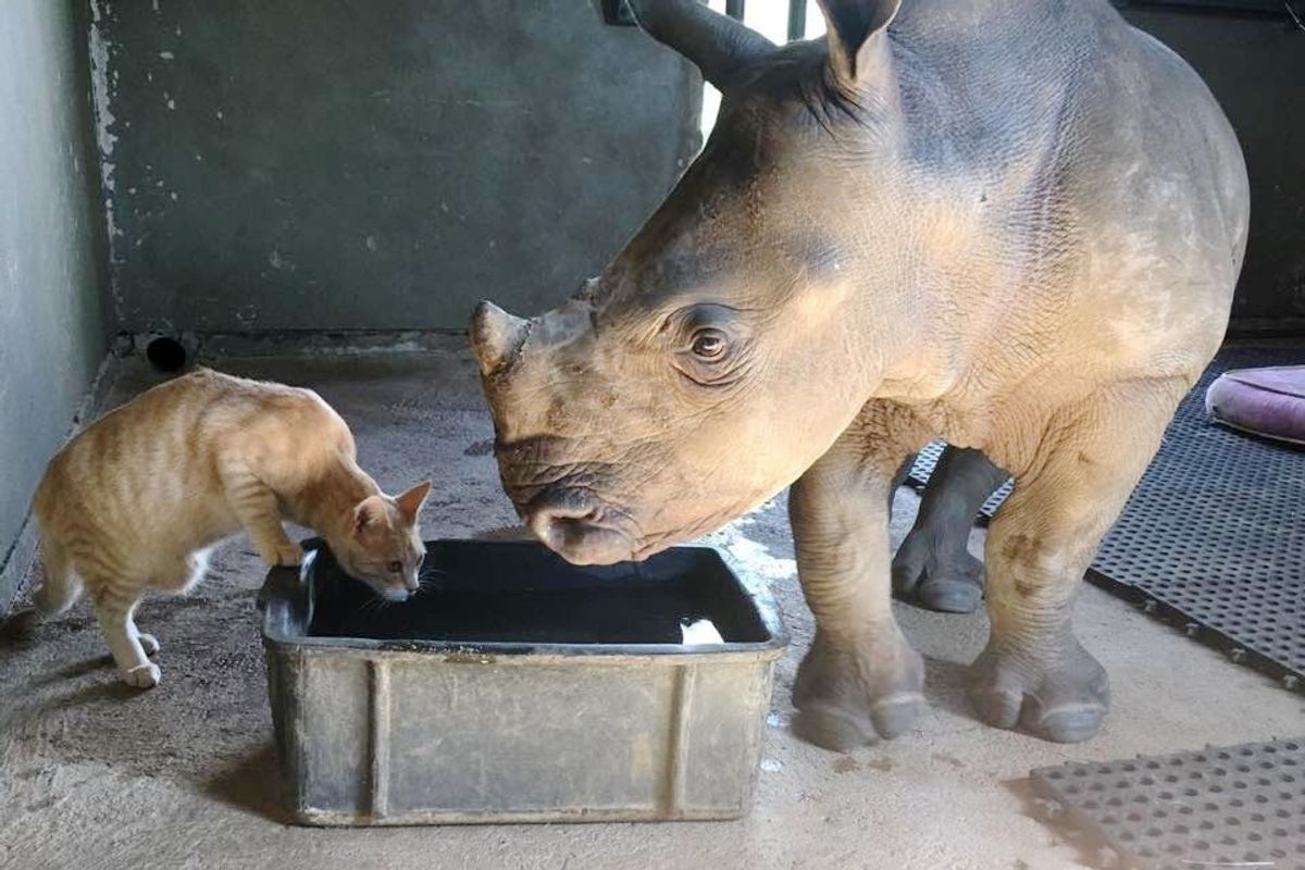 Rescued Cat Bonds with Orphaned Baby Rhino and Begin an Adorable Routine to Support Each Other...
