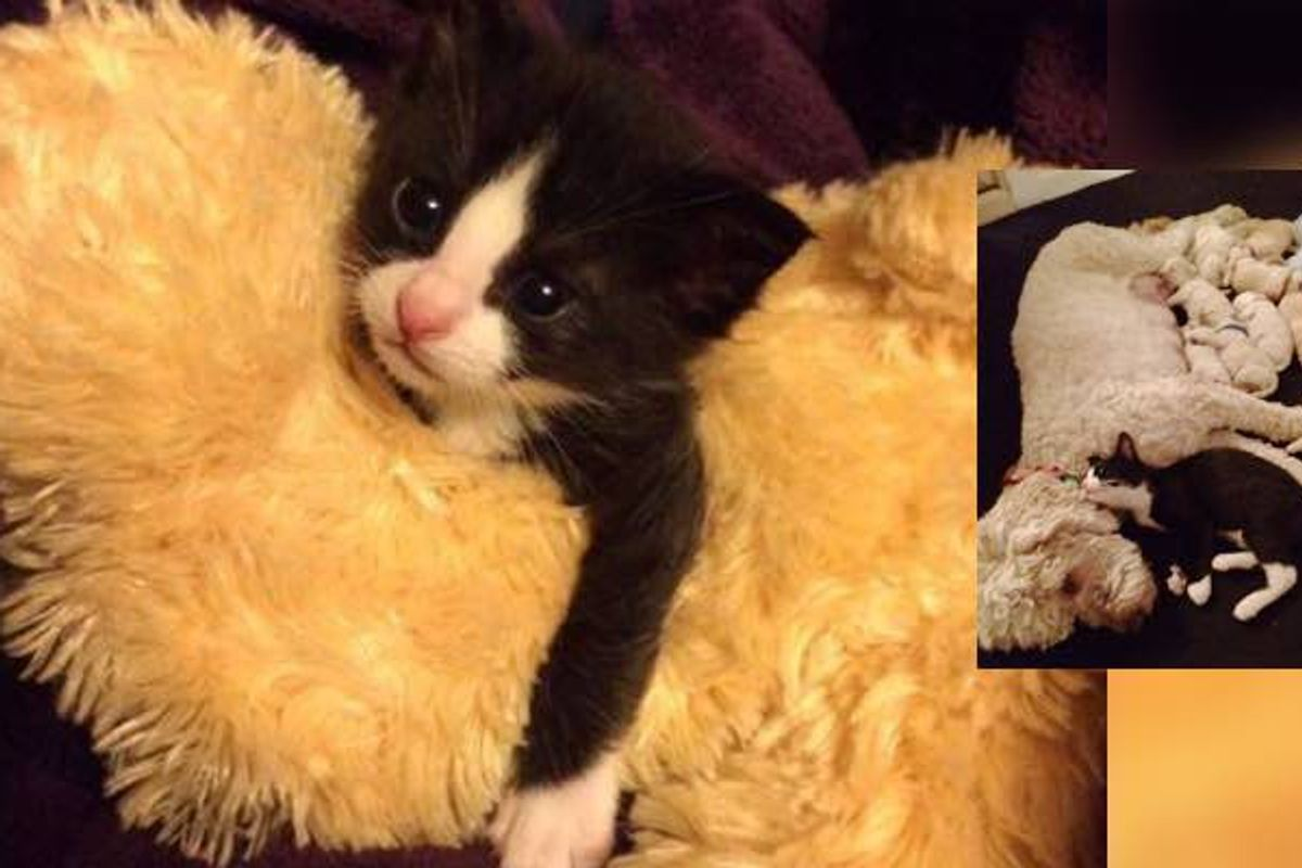 Orphaned Kitten Raised by a Dog Mama Now Thinks He's a Puppy.. (with Update)