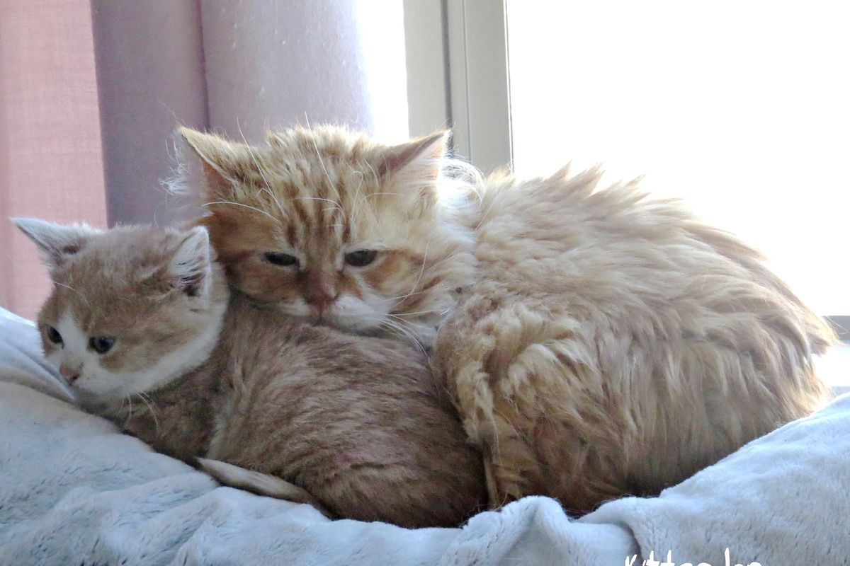 5-Year Old Cat, Size of a Tiny Kitten, Bonds with Rescue Kitten Who is Also a Dwarf...