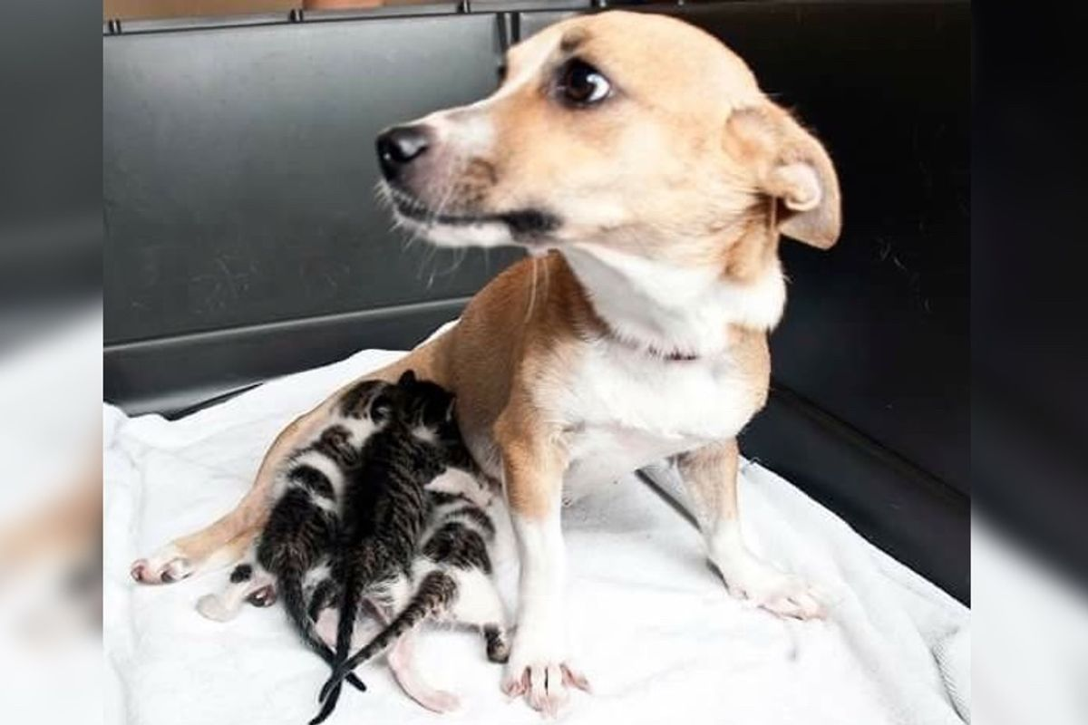 Motherless Kittens Bring Hope to Dog Who was Separated from Her Puppies...