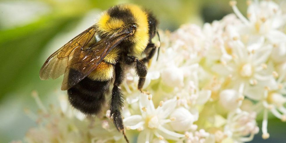 Trump Administration Sued for Suspending Protections for Endangered Bumble Bee